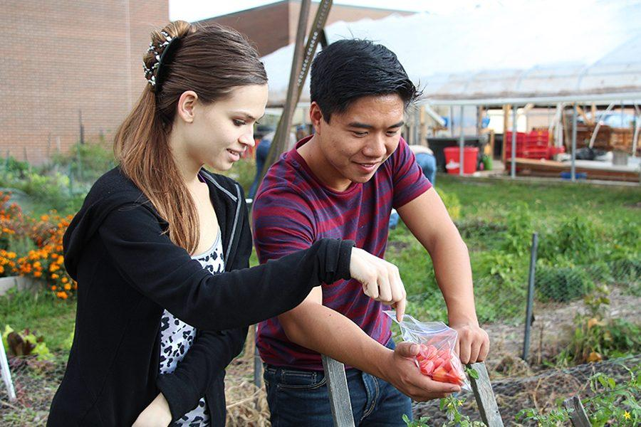 Kathryn Robideaux and Niel Niere, seniors, help to harvest the last of the season's tomatoes from the school garden.  This produce is donated to Falcon Packs.